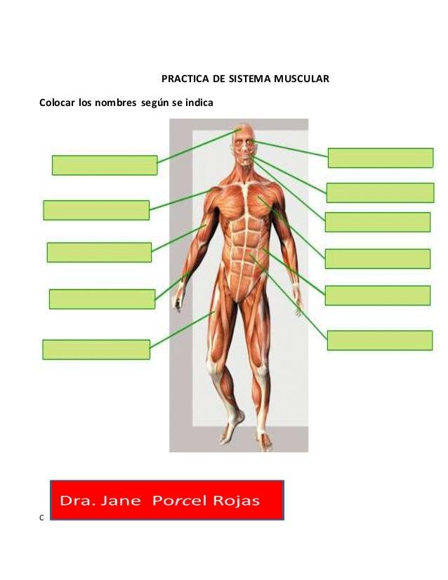 Hermosa La Práctica Músculo Anatomía Embellecimiento - Anatomía de ...