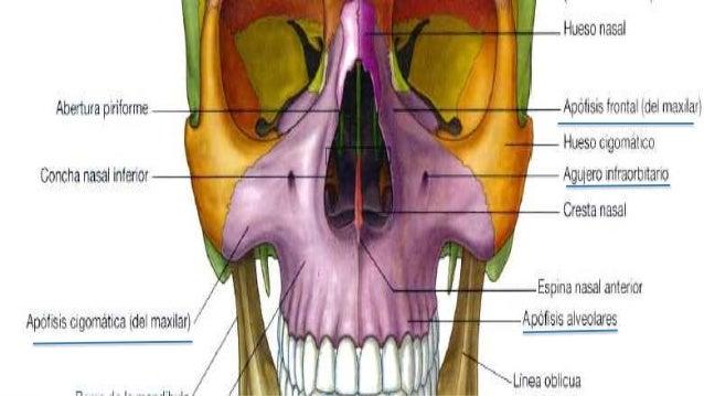 Osteogénesis, osificación y accidentes óseos