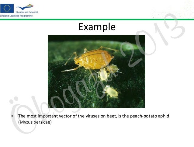 Example  Ö  o k  z a g  2 d  3 1 0  • The most important vector of the viruses on beet, is the peach-potato aphid (Myzus p...