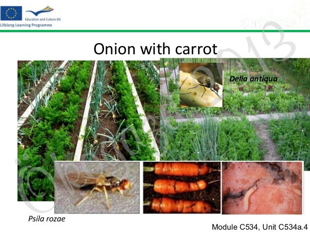 Onion with carrot  2 d  3 1 0  Delia antiqua  Ö  o k  Psila rozae  z a g  Module C534, Unit C534a.4