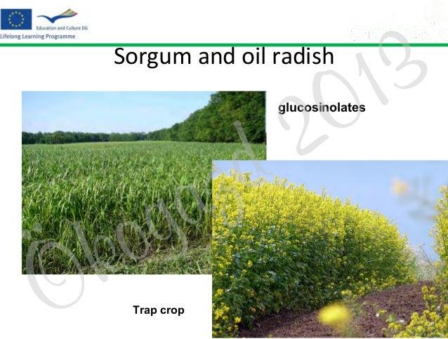 3 1 0  Sorgum and oil radish  2 d  glucosinolates  z a g  Ö  o k  Trap crop