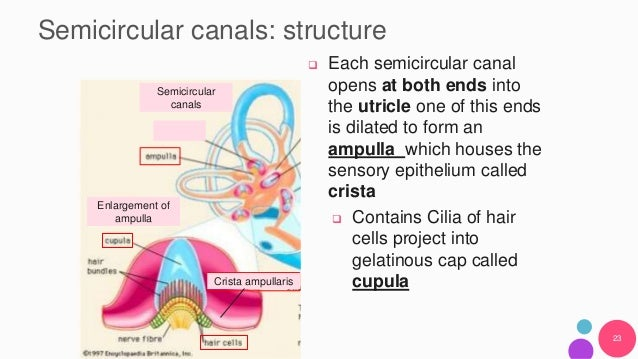 Anatomy and physiology of the inner ear and motion sickness ampullaris semicircular canals 23 ccuart Choice Image