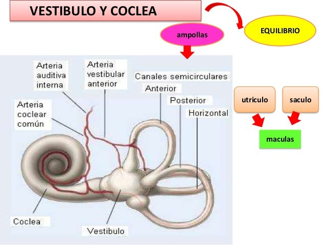 otorrinolaringologia anatomia semiologia