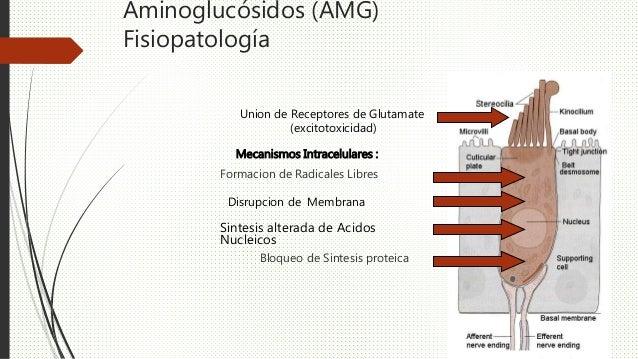 Aminoglucósidos (AMG) Fisiopatología Union de Receptores de Glutamate (excitotoxicidad) Mecanismos Intracelulares : Formac...