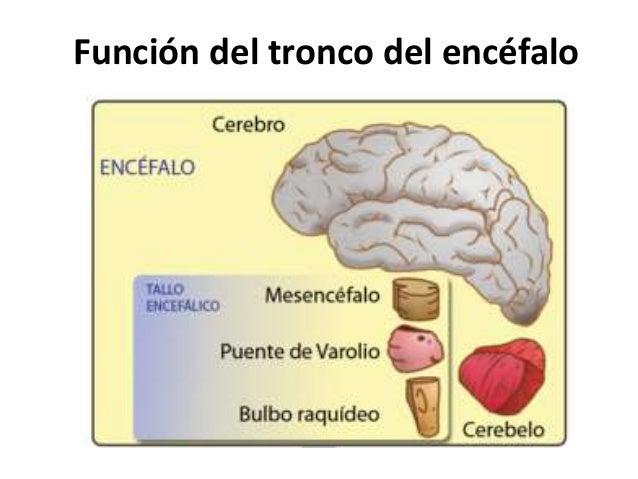 Otras vías nerviosas desde la corteza motora