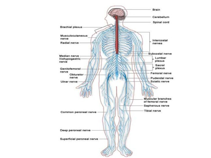 Unique What Does Peripheral Mean In Anatomy Festooning - Internal ...