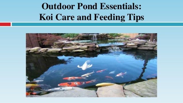Outdoor pond essentials koi care and feeding tips for Koi pond maintenance tips
