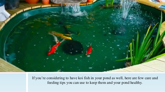 Outdoor Pond Essentials Koi Care and Feeding Tips