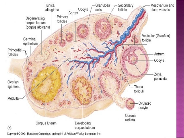 fat cells and its contribution to the growth of ovarian cancer Read chapter 2 the biology of ovarian cancers: in an era of promising advances   an overview of the most common types of ovarian cancer, including their  origins,  usually find papillary or solid growth with slit-like spaces, with the tumor  cells  of ovarian cancer heterogeneity, have undoubtedly contributed to  confusion.