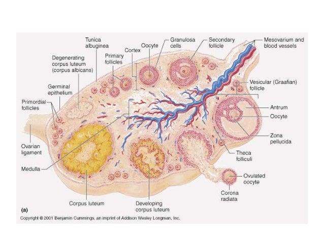 Classification of ovarian tumors Slide 3
