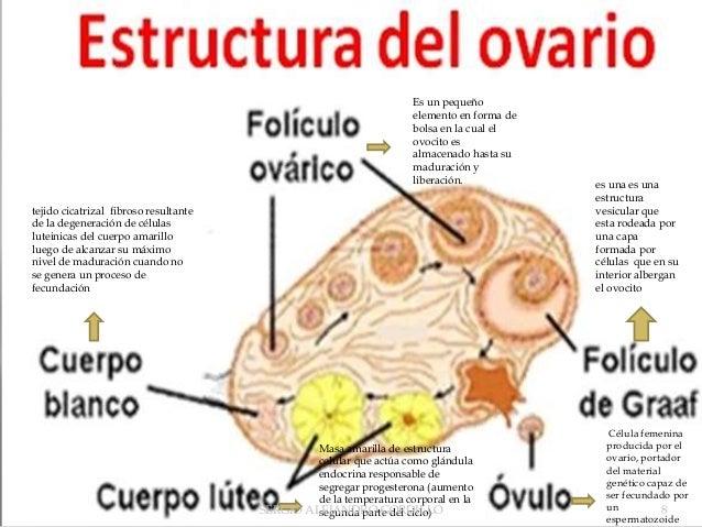 Ovarios Power Point Alejandro