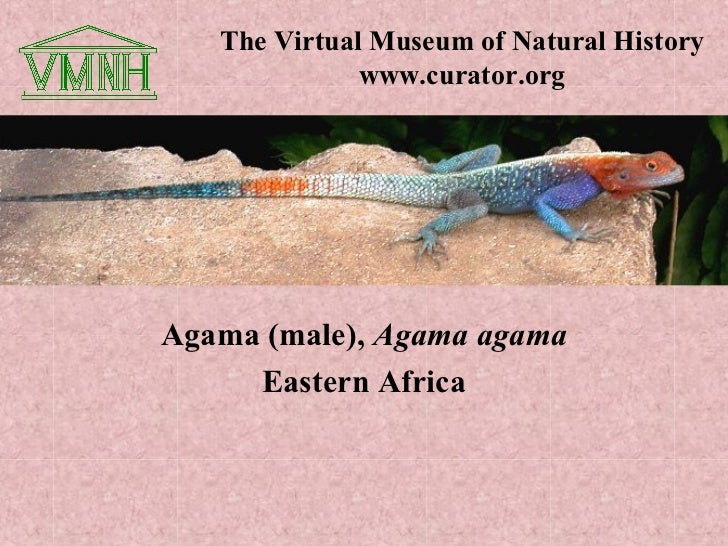 The Virtual Museum of Natural History              www.curator.orgAgama (male), Agama agama     Eastern Africa