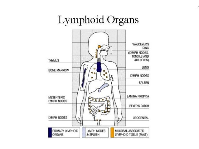 overview of cells and organ of immune system