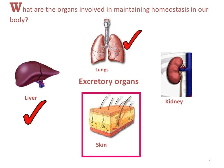homeostasis in the lungs Homeostasis is maintained by the respiratory system in two ways: gas exchange and regulation of blood ph gas exchange is performed by the lungs by eliminating carbon dioxide, a waste product given off by cellular respiration.