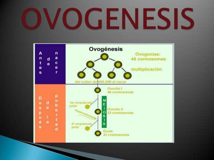DEFINICIÓNProceso  que comienza con la división de la ovogonia yfinaliza con la formación de un ovocito IILocalización ...