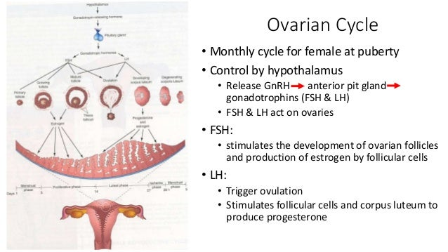 Ovulation, fertilization, implantation (1 st week