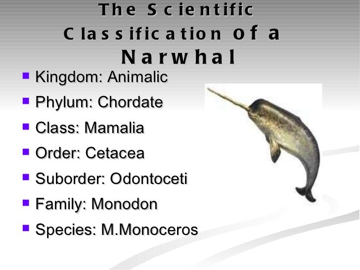 Classification - The Endangered Narwhal |Narwhal Taxonomy