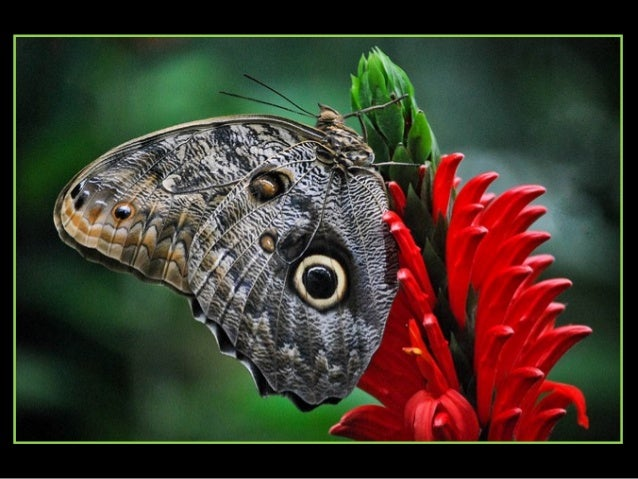 An Owl Butterfly Caligo genus is known for its huge eyespots, which resemble owls eyes. They are found in the rainforests ...