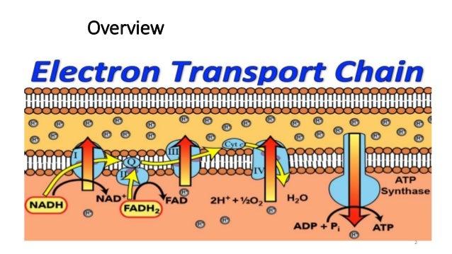 Electron Transport Chain Oxidative Phosphorylation - Best ...