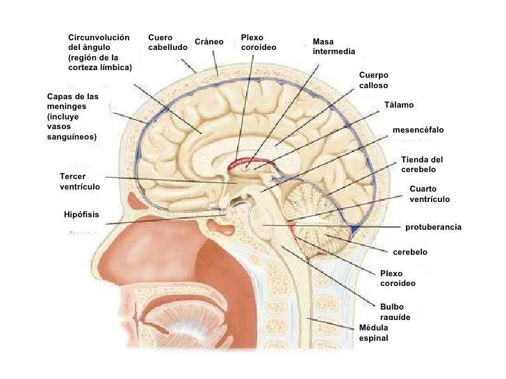 Hipófisis Tercer ventrículo Capas de las meninges (incluye vasos sanguíneos) Circunvolución del ángulo (región de la corte...