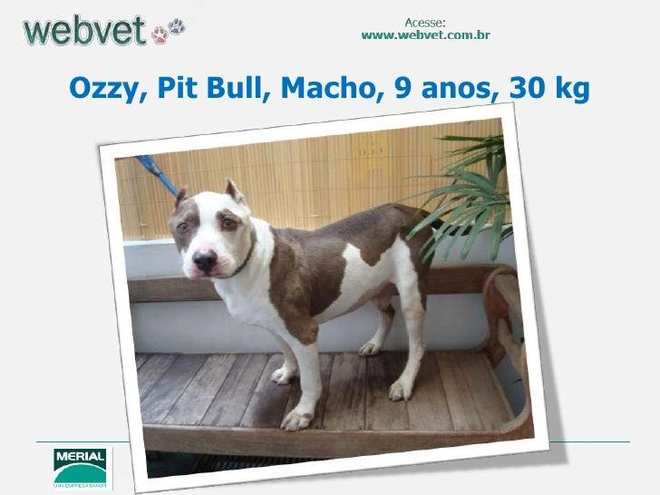 Ozzy, Pit Bull, Macho, 9 anos, 30 kg
