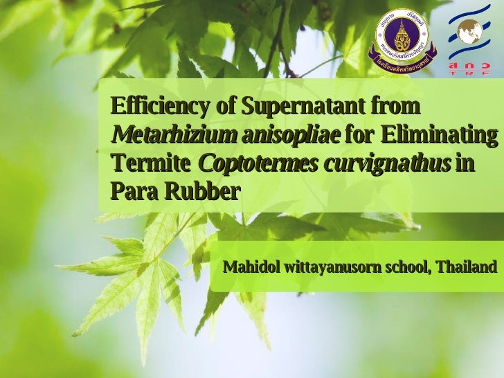 Efficiency of Supernatant from  Metarhizium anisopliae  for Eliminating Termite  Coptotermes curvignathus  in  Para Rubber...