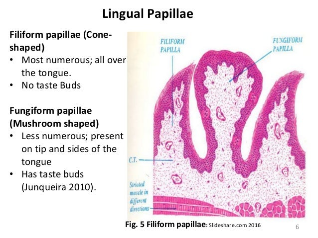 histology of the tongue and salivary gland