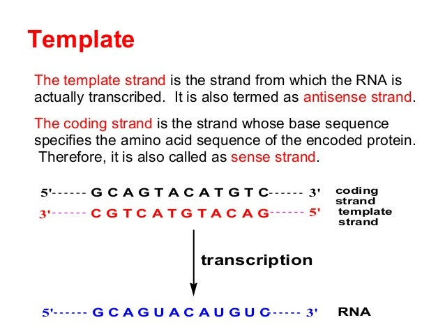 Biochemistry transcription rna biosynsthesis for What is a template strand