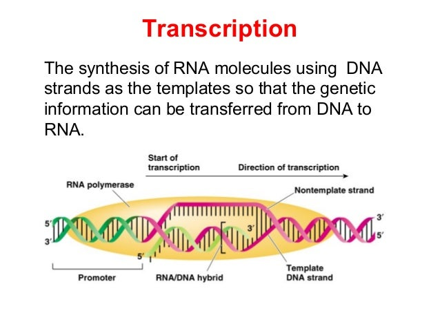 Biochemistry transcription rna biosynsthesis pronofoot35fo Image collections