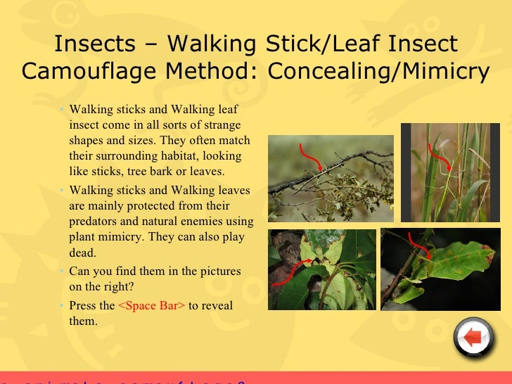 Insects walking stick leaf insect camouflage method concealing mimicry