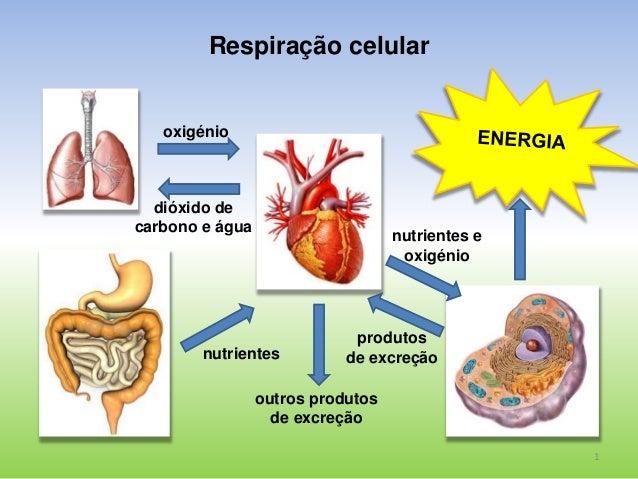 1  Respiração celular  oxigénio  dióxido de  carbono e água  nutrientes  nutrientes e  oxigénio  produtos  de excreção  ou...