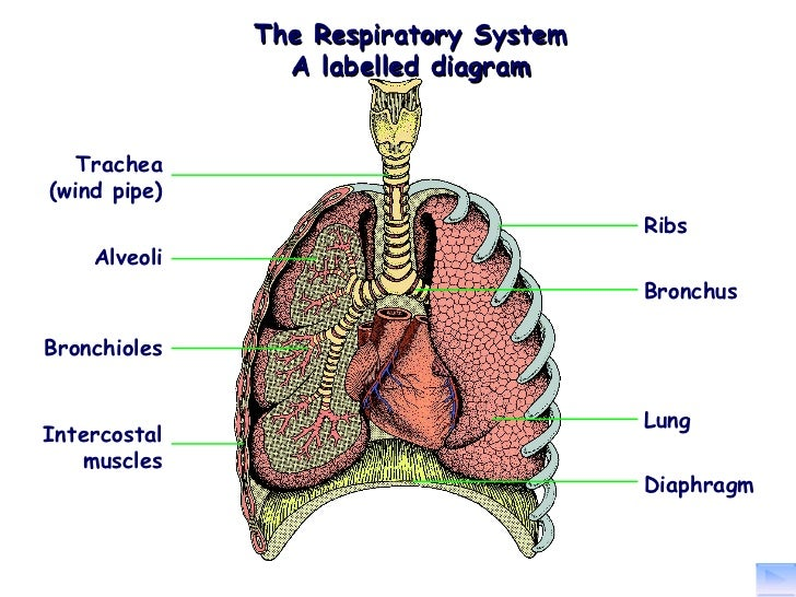 The structure and function of the respiratory system ccuart Images