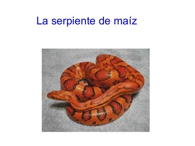 La serpiente de maíz