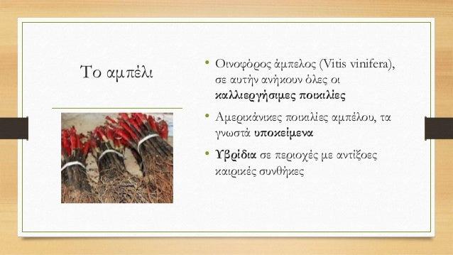 Το αμπέλι • Οινοφόρος άμπελος (Vitis vinifera), σε αυτήν ανήκουν όλες οι καλλιεργήσιμες ποικιλίες • Αμερικάνικες ποικιλίες...