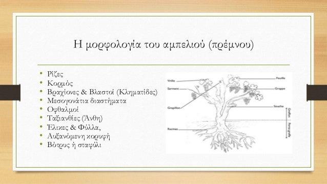 Η μορφολογία του αμπελιού (πρέμνου) • Ρίζες • Κορμός • Βραχίονες & Βλαστοί (Κληματίδες) • Μεσογονάτια διαστήματα • Οφθαλμο...