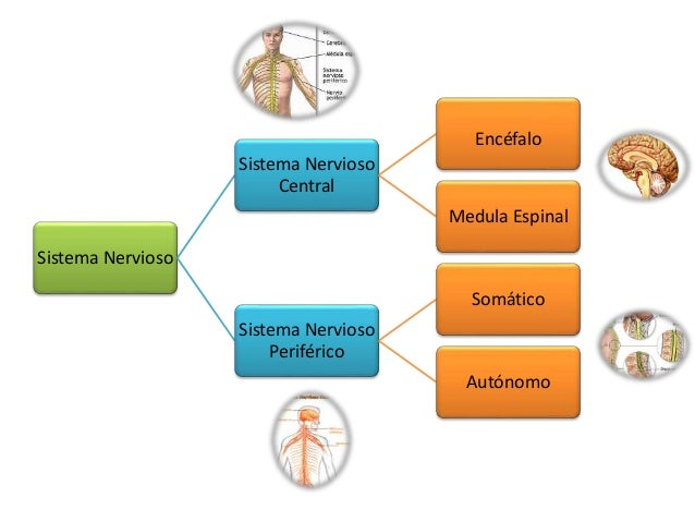 Sistema Nervioso Sistema Nervioso Central Encéfalo Medula Espinal Sistema Nervioso Periférico Somático Autónomo