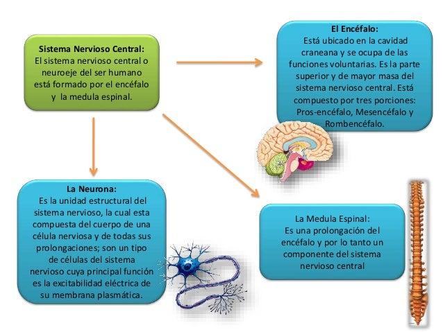 El Encéfalo: Está ubicado en la cavidad craneana y se ocupa de las funciones voluntarias. Es la parte superior y de mayor ...
