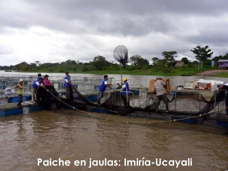 Paiche en jaulas:Imiría-Ucayali<br />