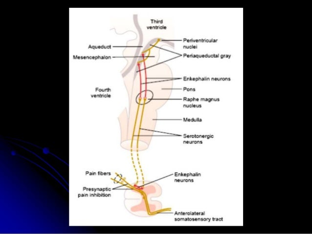 b) Gait control theory of pain (dorsal horn of SC) in the dorsal horn A beta, fine touch fibers cause pre- Synaptic inhibi...