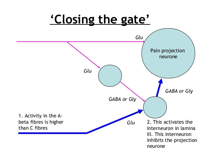 'Closing the gate' Pain projection neurone 1. Activity in the A- beta fibres is higher than C fibres 2. This activates the...
