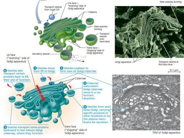 The cell a molecular approach 6th edition
