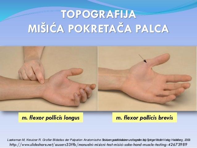Palac - digitus primus manus – pollex