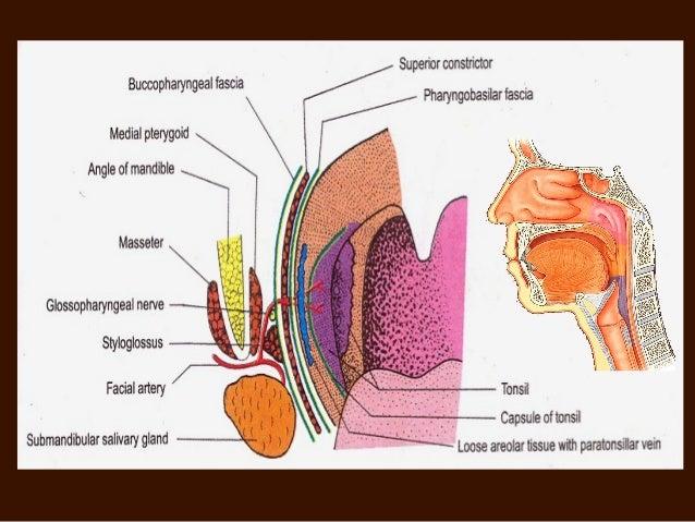 Diagram Of Pharyngeal Tonsils - DIY Enthusiasts Wiring Diagrams •