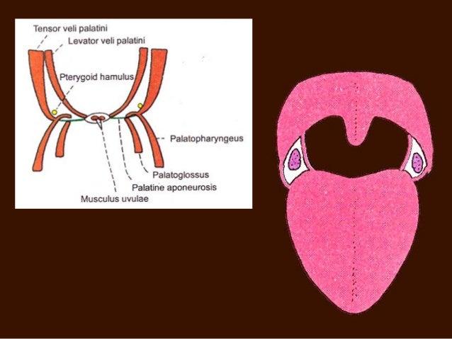 palatine tonsil, Human Body