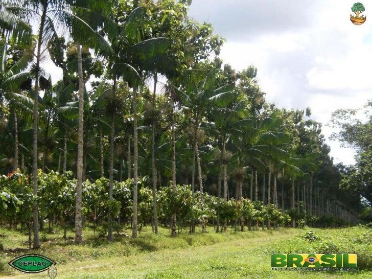 O Sistema Agroflorestal com Cacau e a Recomposição da Reserva Legal na             Amazônia                               ...