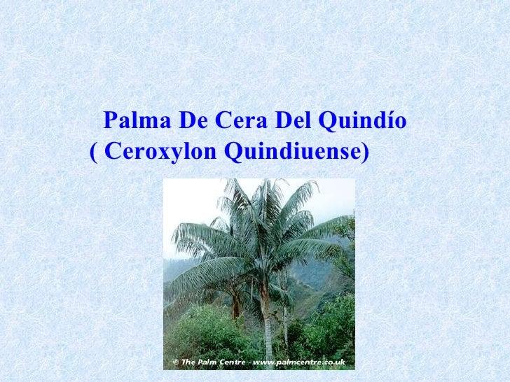 Palma De Cera Del Quindío ( Ceroxylon Quindiuense)