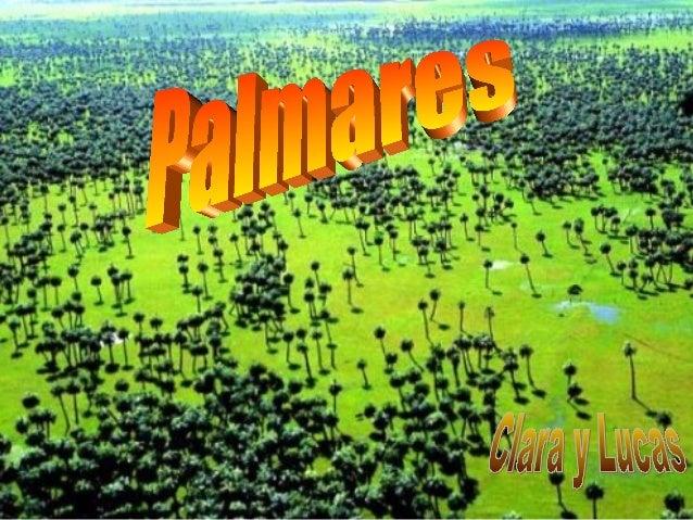 Si bien en nuestro país hay varias especies de palmas, sólo dos de ellas (butiá y yatay) forman palmares casi puros. Los p...
