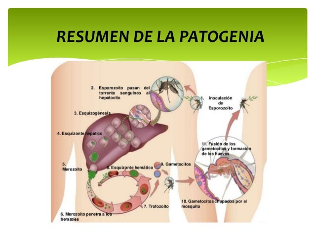 Que parásitos viven en los órganos la persona