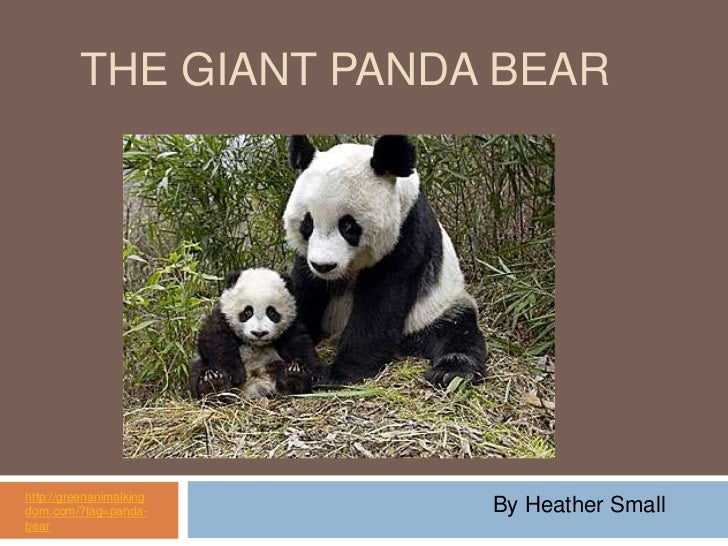 The Giant Panda Bear<br />http://greenanimalkingdom.com/?tag=panda-bear<br />By Heather Small<br />