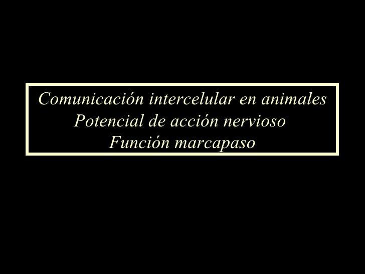 Comunicación intercelular en animales Potencial de acción nervioso  Función marcapaso